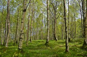 břízy v lese