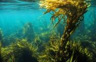 Kelp – mořská řasa pro zdraví
